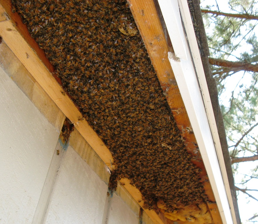 Pictures Bee Removal